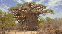 Valahantsaka resort Madagascar - Baobab unici in tutto il mondo